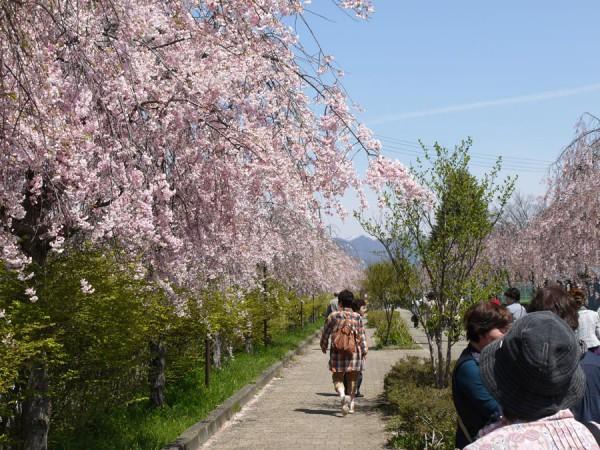 喜多方しだれ桜