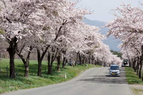 猪苗代、緑の森の桜