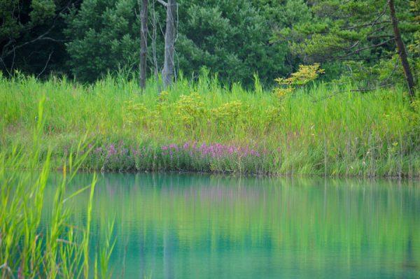 弁天沼のミソハギ