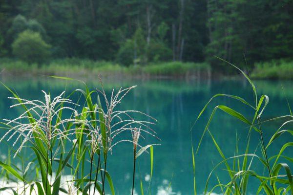 五色沼のススキ