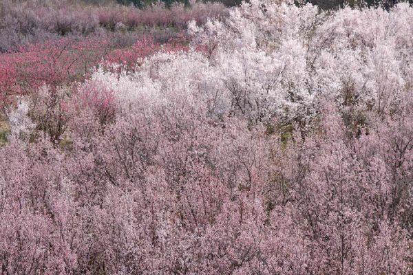 花木団地の桜