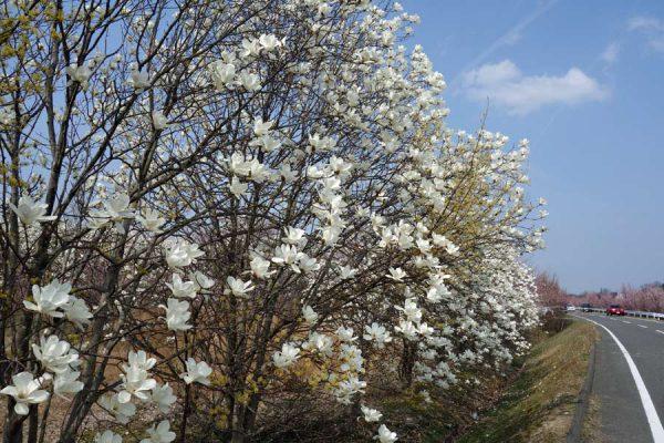 花木団地のモクレン