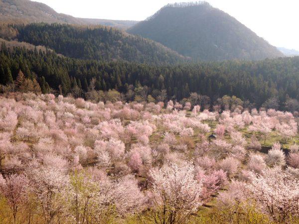 桜峠が見頃です