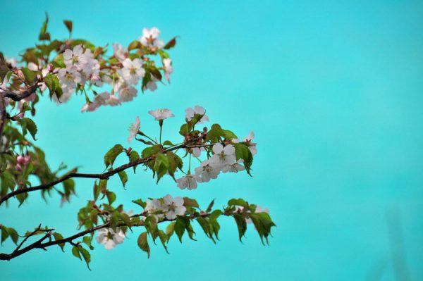 桜と五色沼