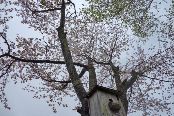 やっと桜が咲きました。