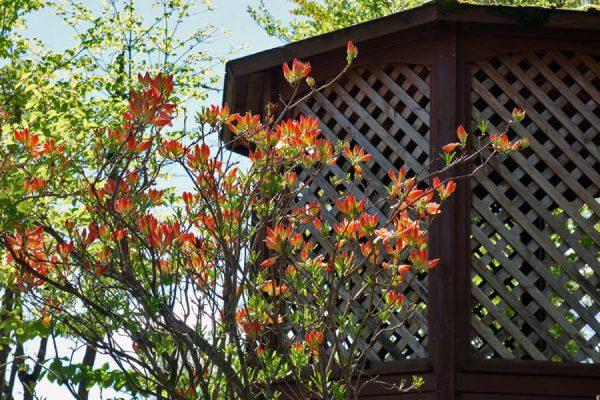 レンゲツツジが咲いた
