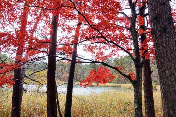 五色沼の紅葉