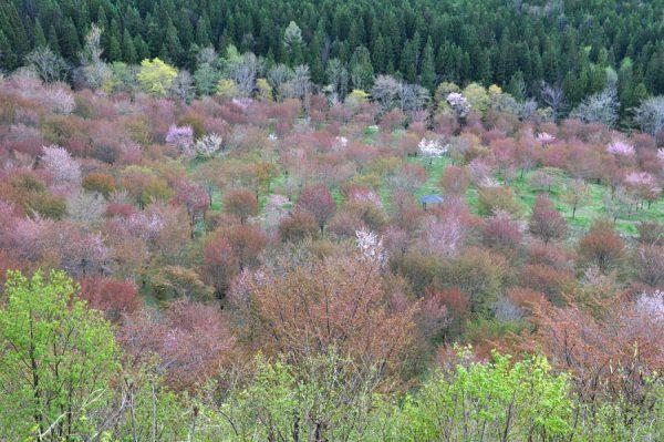 桜峠のサクラ