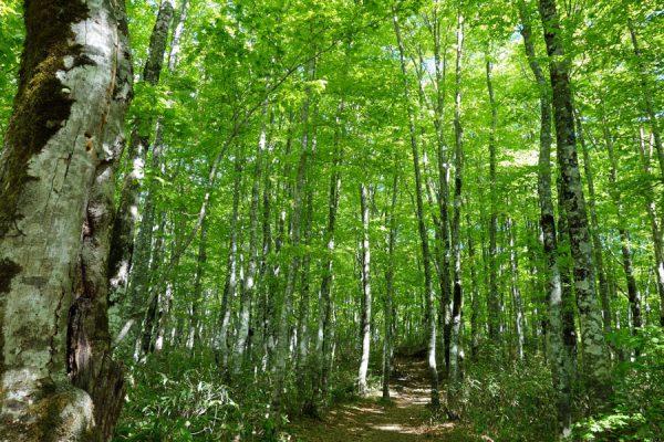 磐梯山新緑のブナ林
