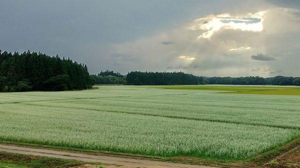 収穫の秋、そば畑