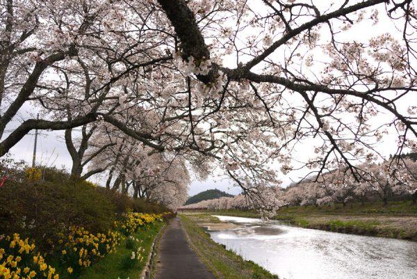 夏井川の千本桜