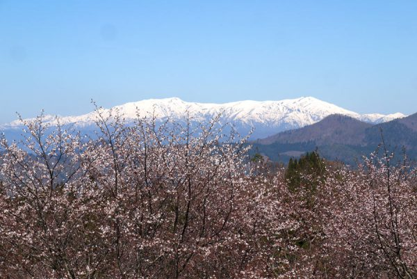 飯豊山と桜